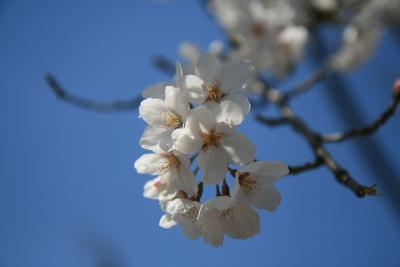 忠霊塔の桜_c0193896_21322816.jpg