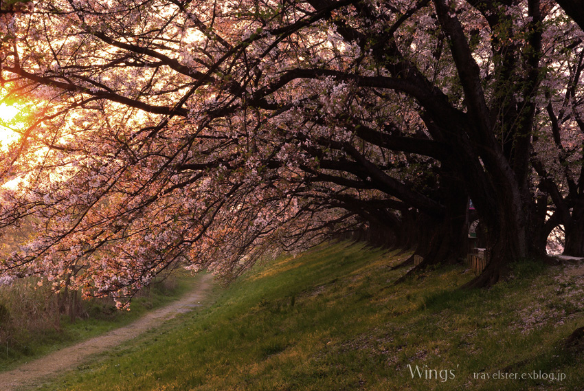 The cherry trees 2009_b0108109_172991.jpg