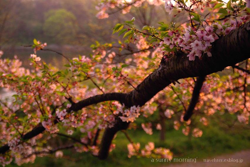 The cherry trees 2009_b0108109_1733658.jpg