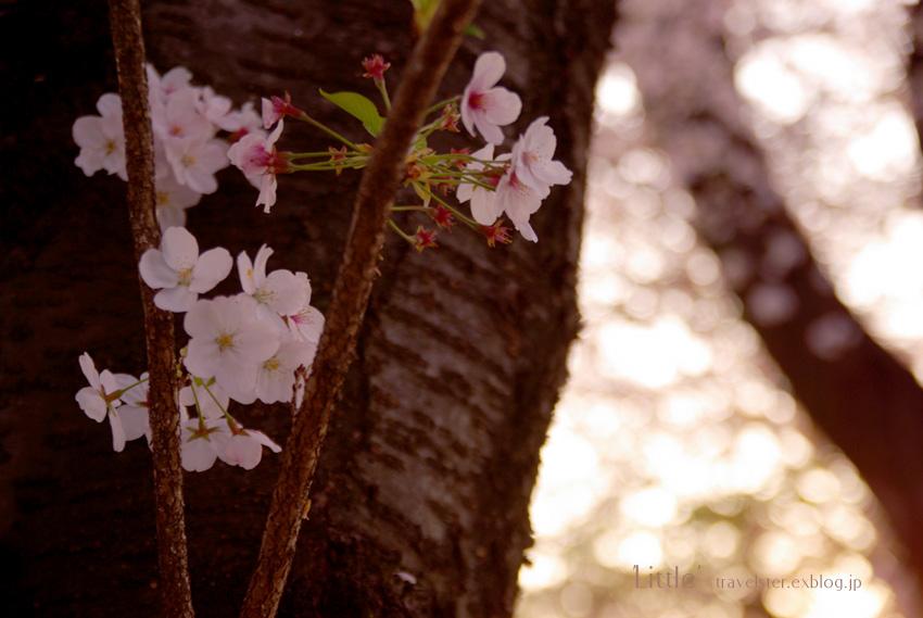 The cherry trees 2009_b0108109_17393978.jpg