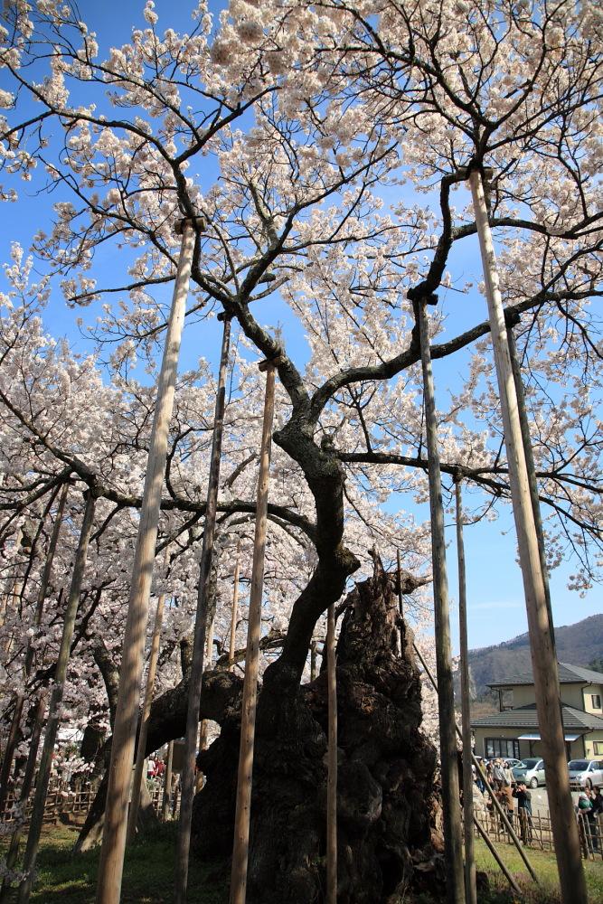 日本三大桜_f0157812_1221249.jpg
