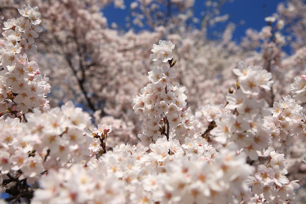 日本三大桜_f0157812_1222780.jpg