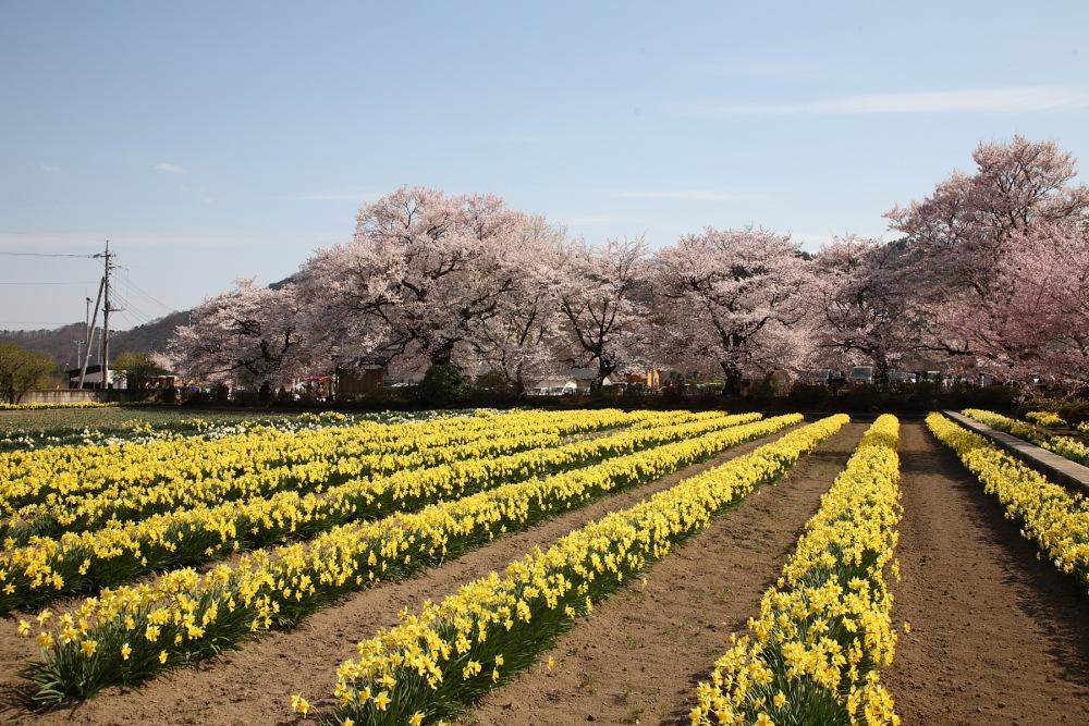 日本三大桜_f0157812_1264011.jpg