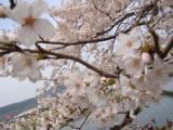 一目千本桜・・・_f0081414_19385774.jpg