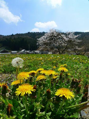 樹齢400年、畑の枝垂れ桜 よもぎ餅  (滋賀県甲賀市信楽町)_d0108737_226454.jpg