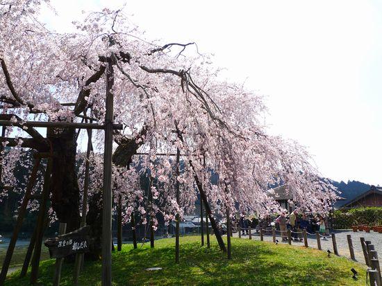 樹齢400年、畑の枝垂れ桜 よもぎ餅  (滋賀県甲賀市信楽町)_d0108737_2272033.jpg