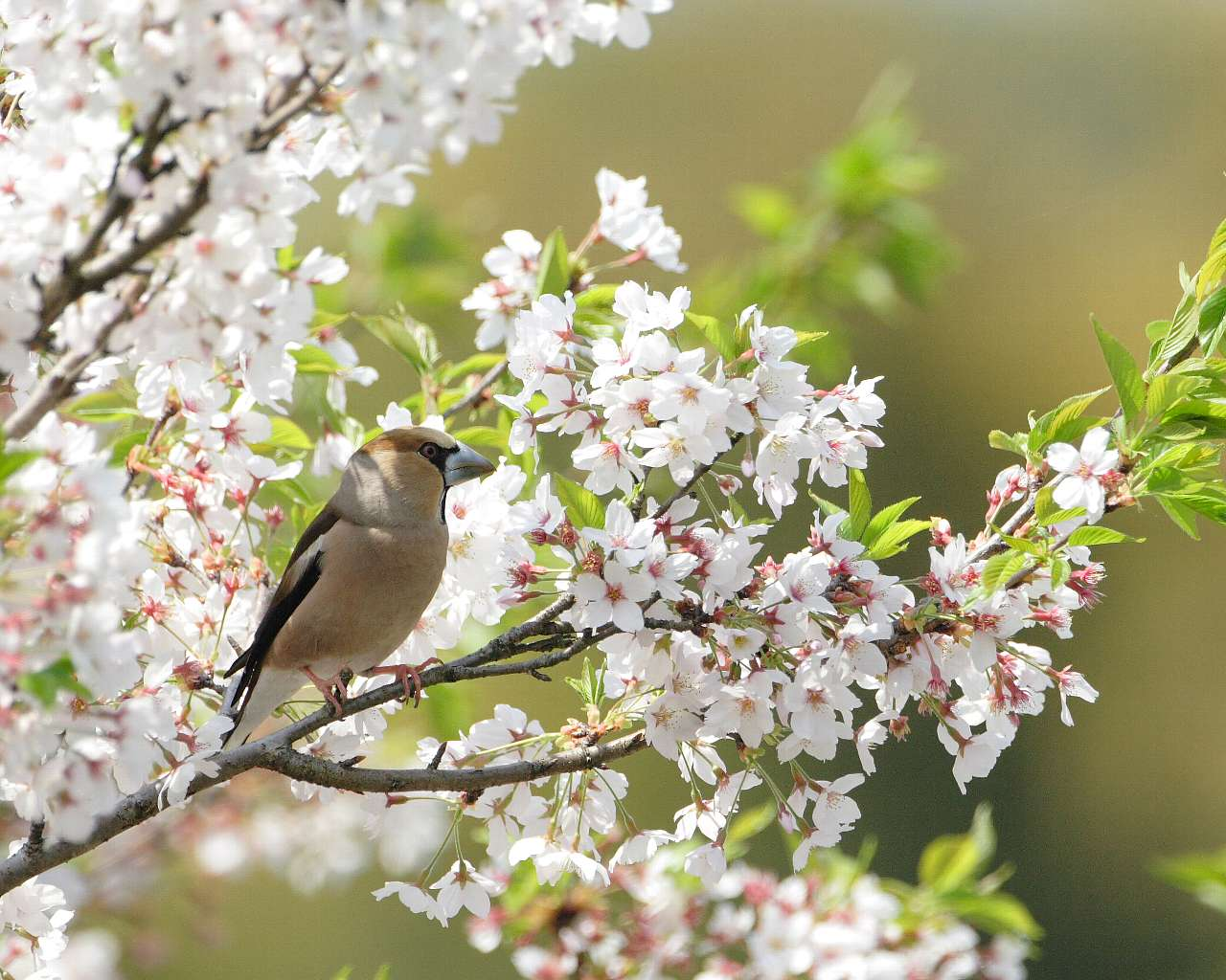 桜、なんとか間に合いました_f0105570_22432539.jpg