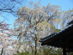 櫻狂い(1) ~西行櫻~_b0102572_0253596.jpg