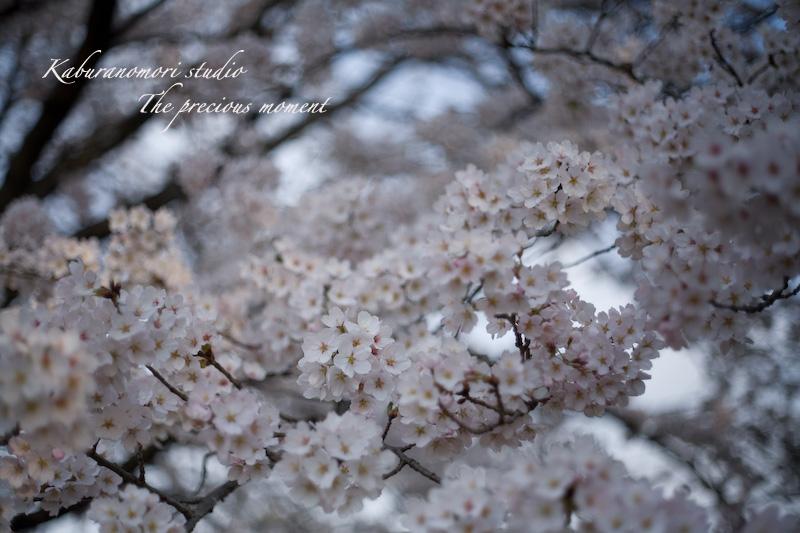 09/4/13  桜、桜で桜かな 楽しみました!_c0137403_1944393.jpg