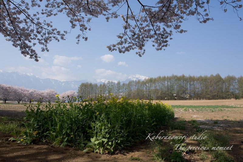 09/4/13  桜、桜で桜かな 楽しみました!_c0137403_1982897.jpg