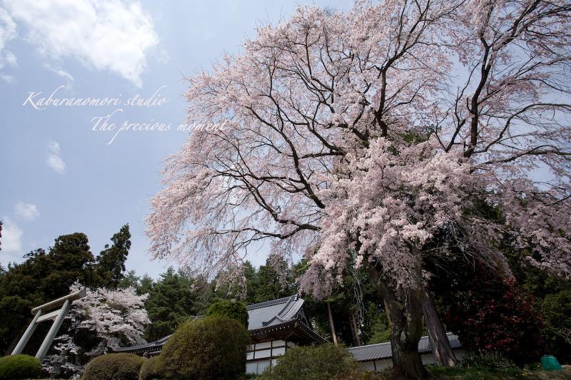 09/4/13  桜、桜で桜かな 楽しみました!_c0137403_1985135.jpg