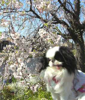 鴨川でお花見_c0199014_10262250.jpg
