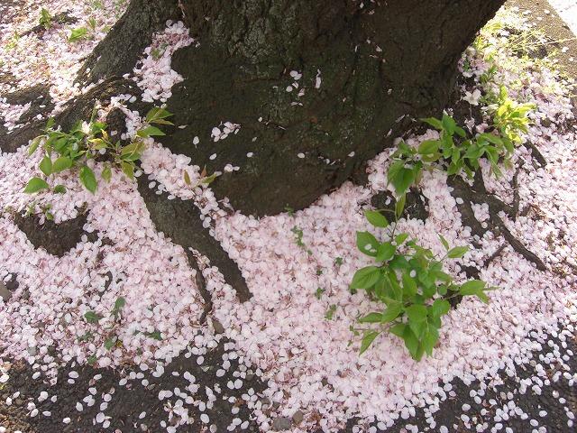 先週で桜も終わった・・・。_e0054438_18473360.jpg
