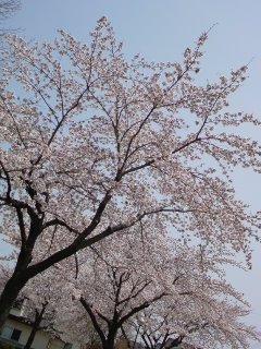 開成山、夜桜散歩と・・・かぶの柚子胡椒漬け。_f0177295_10262437.jpg