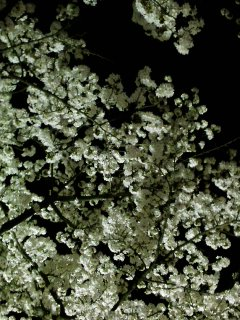 開成山、夜桜散歩と・・・かぶの柚子胡椒漬け。_f0177295_10262531.jpg