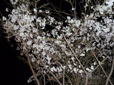 桜、桜 【時々M's MEMO】_f0111415_13171088.jpg