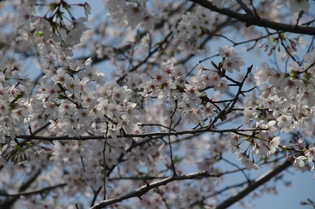 桜_f0172518_1801153.jpg