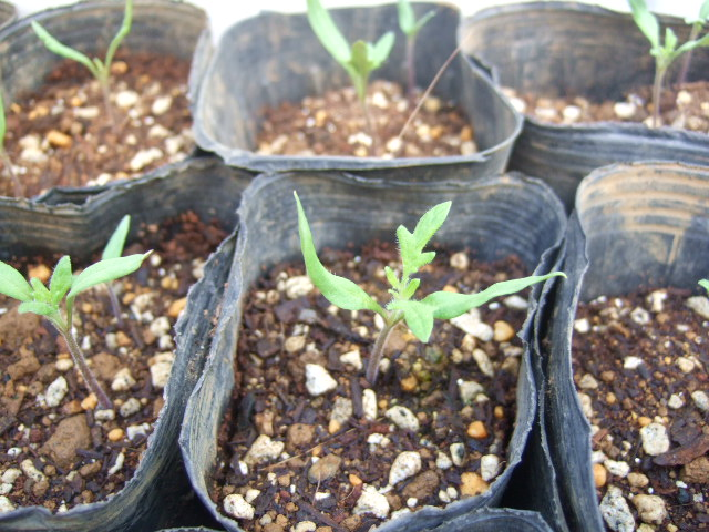 ブログ一周年......野菜の苗も順調_b0137932_17365140.jpg