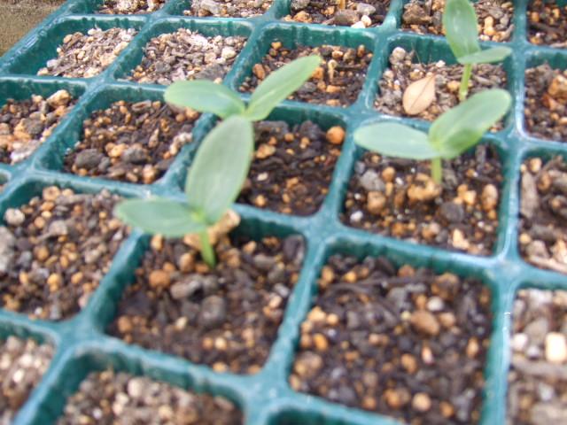 ブログ一周年......野菜の苗も順調_b0137932_1737449.jpg