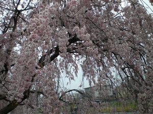 桜_b0150576_1040432.jpg