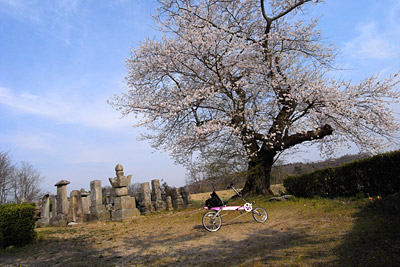 桜と自転車_a0025779_20122658.jpg