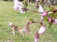 公園でお花見だワン(^^)v_f0026093_23182463.jpg