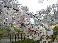 公園でお花見だワン(^^)v_f0026093_23192826.jpg