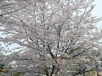 公園でお花見だワン(^^)v_f0026093_23244897.jpg