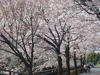 桜 満開~!_f0026093_2340244.jpg