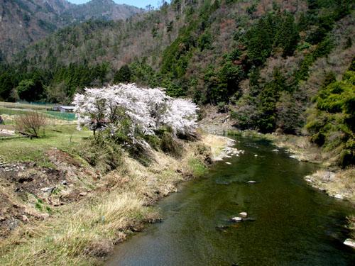 由良川上流花盛り_e0048413_21424236.jpg