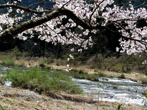 由良川上流花盛り_e0048413_21432979.jpg