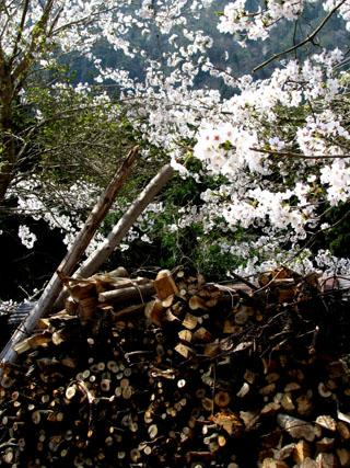 由良川上流花盛り_e0048413_21434316.jpg