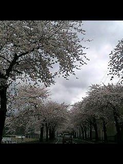 桜満開_d0009833_2356919.jpg
