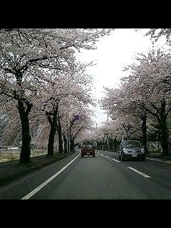 桜満開_d0009833_235692.jpg