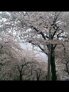 桜満開_d0009833_2356939.jpg