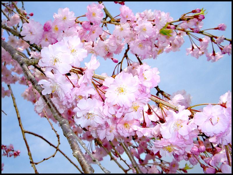桜♪桜♪_f0119369_22265954.jpg