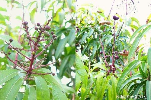 庭の果物たちのその後・・・・ ☆今日のお弁当♪_c0139375_14185161.jpg