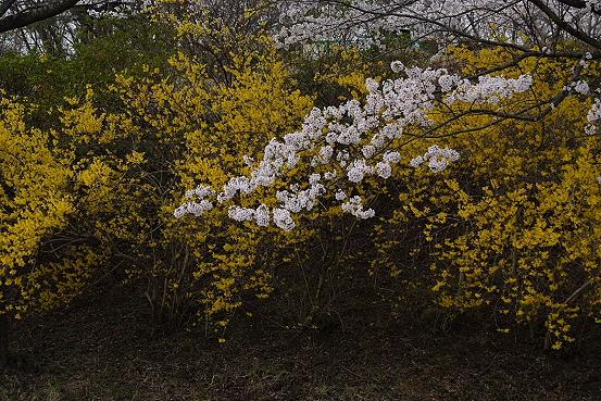 東北桜巡りその1・宮城白石一目千本桜_e0165983_1415829.jpg