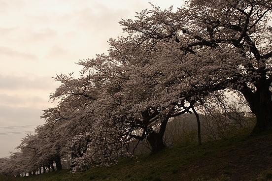 東北桜巡りその1・宮城白石一目千本桜_e0165983_1485634.jpg