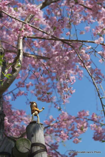 なにげに続く桜かな・・・_b0159515_22293735.jpg