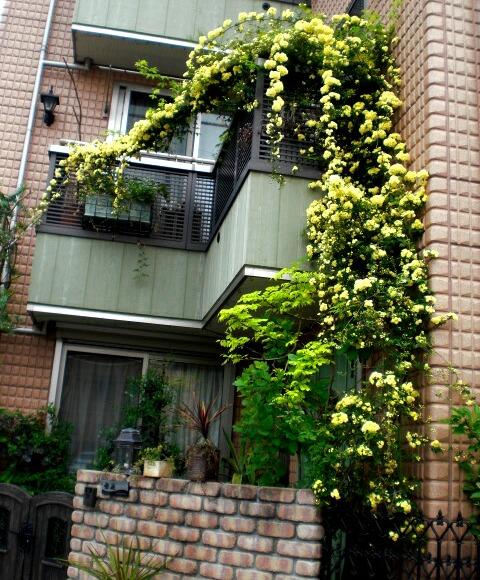 モッコウバラが咲きました。_f0208806_17591791.jpg