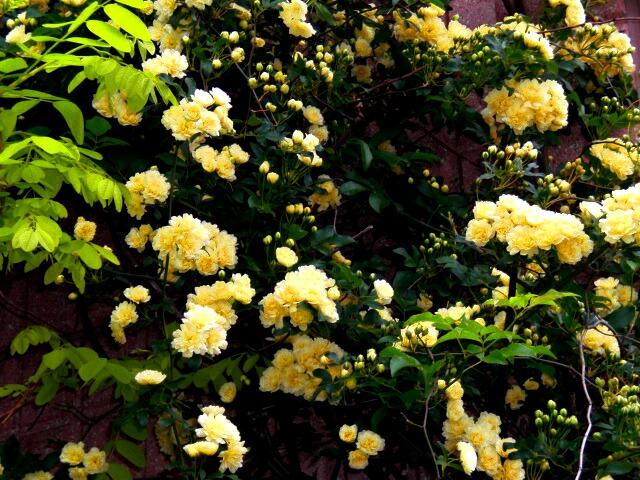 モッコウバラが咲きました。_f0208806_1821829.jpg