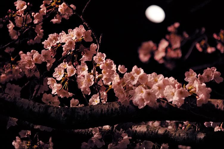 2009關西春櫻速報Vol16.~姬路夜之櫻_c0073742_23533751.jpg