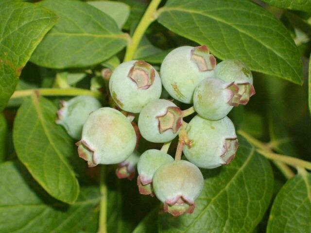 屋内促成栽培のシャープブルーの二期目の花&記録記事_f0018078_16111161.jpg