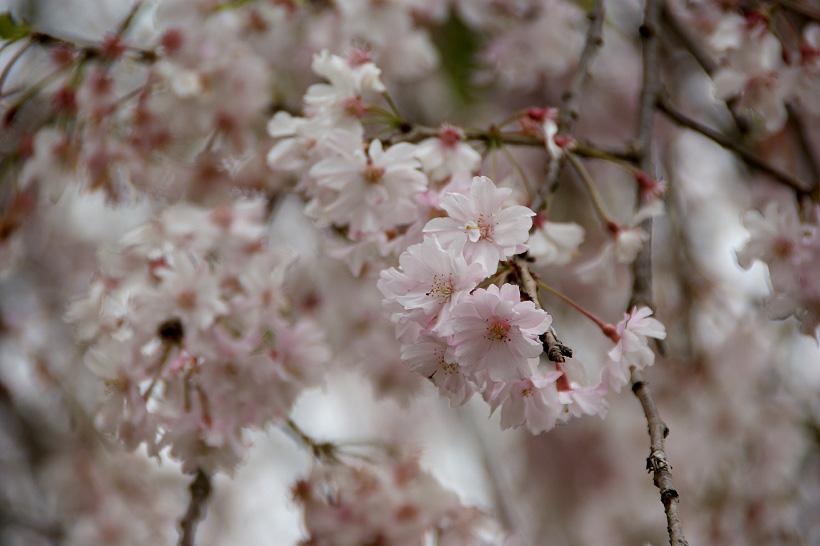 お花見・・一足遅れの・・・_d0151813_1855299.jpg