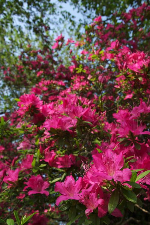 桜の次は、ツツジの季節です_a0003746_1781729.jpg