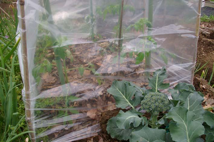 夏野菜の第一陣の植え付け完了!(2009・4・18)_c0014967_16104972.jpg