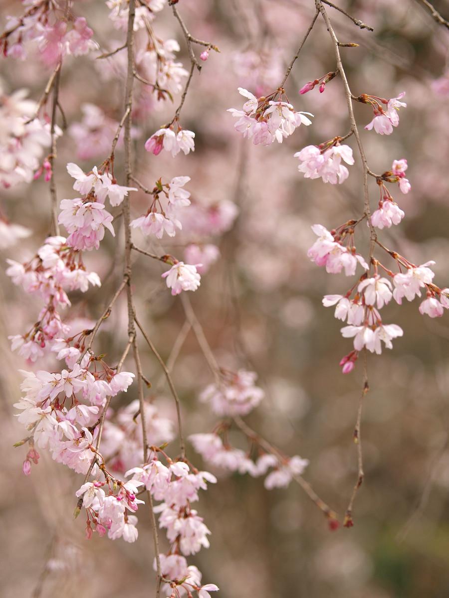 根来寺 桜 その9_c0187587_14272561.jpg