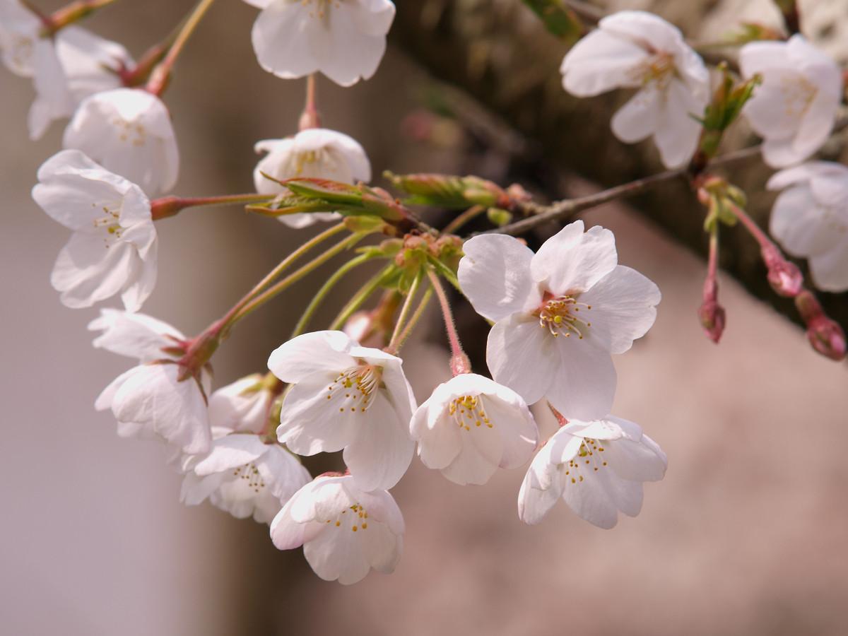 根来寺 桜 その9_c0187587_14303398.jpg