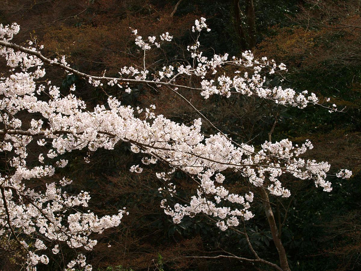 根来寺 桜 その9_c0187587_14324161.jpg
